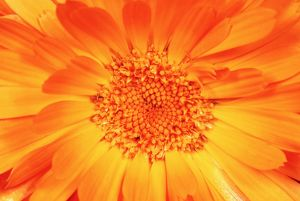 Marigold - Flower in close up