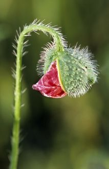 ME-1709 Common Poppy