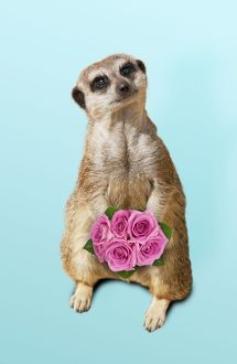 Meerkat / Suricate - holding a bunch of roses