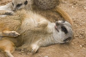 Meerkat / Suricate - lying down on back with claws outstretched