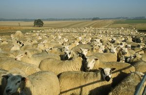 Merino SHEEP - flock