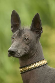 Mexican Hairless Dog - Close up of head