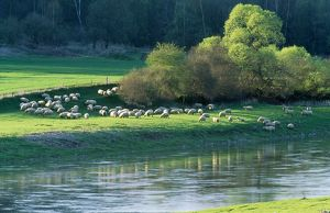 Milk SHEEP - view of flock across river with trees