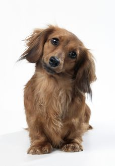Miniature Long-Haired Dachshund / Teckel Dog