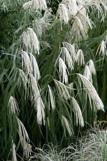 plant textures/miscanthus sinensis graziella frosted winter