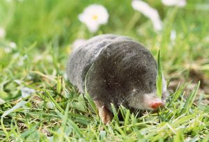 Mole - foraging on surface