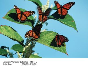 Monarch / Wanderer Butterflies