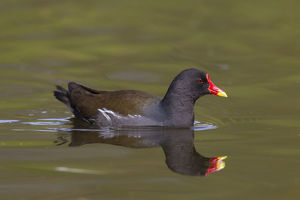 Moorhen, Teichralle - adult on water - Germany