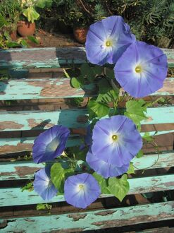 Morning Glory / 'Ipomea' flowers growing through old bench