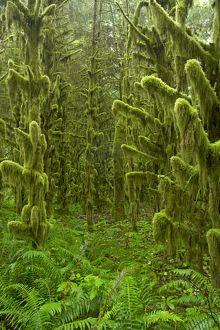 Moss Covered old growth forest