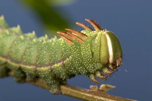 Moth - Caterpillar's head