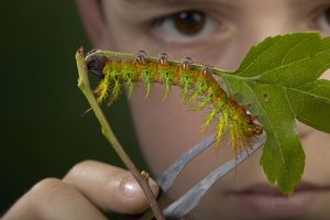 Moth - Urticant and dangerous caterpillar observed