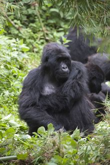 Mountain Gorilla - female resting in family group