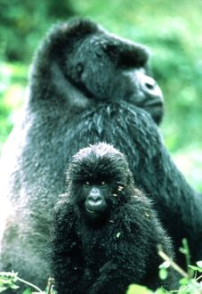 MOUNTAIN GORILLA - juvenille with adult in background