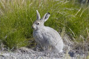 Mountain Hare summer Mountain Hare adult hare in summer