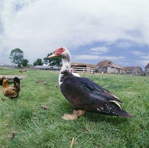 Muscovy DUCK - with chickens in field