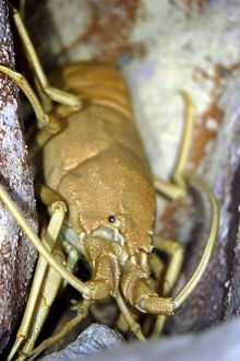 Musical furry lobster (Palibythus magnificus)