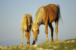 Mustang Ã'Wild Horse - Mare with young colt in field of wildflowers, Summer