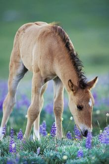 Mustang Wild Horse - Colt checking out wildflowers