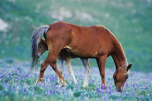 Mustang Wild Horse - Colt stands where mother shoos flys away with tail as mare grazes