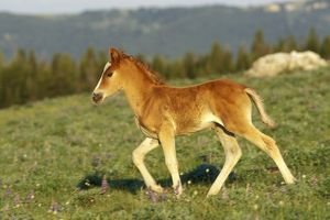 Mustang Wild Horse - Colt walks through meadow amongst wildflowers