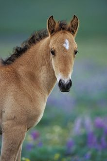 Mustang Wild Horse - Young colt amongst wildflowers