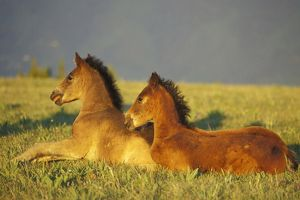 Mustang Wild Horses - Two colts rest for a moment in field of wildflowers