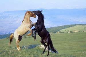 Mustang Wild Horses - Two stallions in dominance conflict, facing each other