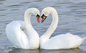 Mute Swan - Courtship display