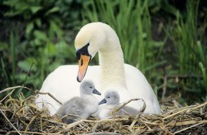 Mute SWAN - with cygnets at nest