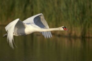 Mute Swan - in flight. Wings produce loud hum in flight unlike other swans
