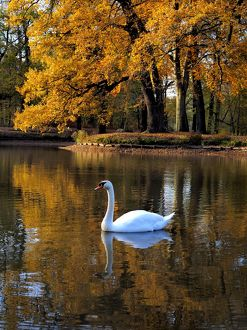 Mute Swan on lake Autumn