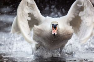 Mute Swan - running on water to take off