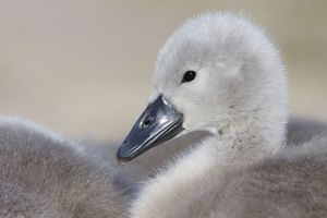 Mute Swans - chick