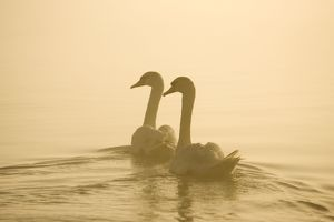 Mute Swans - Pair swimming in pre-dawn mist