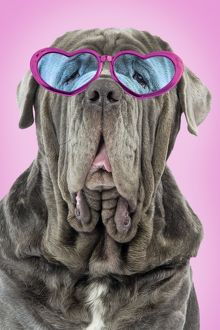 Neapolitan Mastiff dog wearing heart shaped glasses