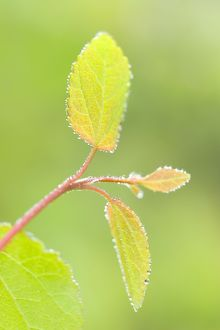 New Leaves of Katsura Tree
