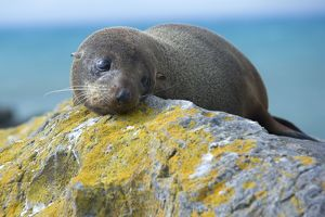 New Zealand Fur Seal - portrait of a young one resting on a rock looking sad