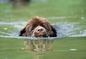 Newfoundland Dog - swimming in river