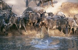 Nile Crocodile - attacking wildebeest / Gnu at river's edge
