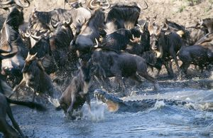 Nile CROCODILE - attacking Wildebeest / Gnu