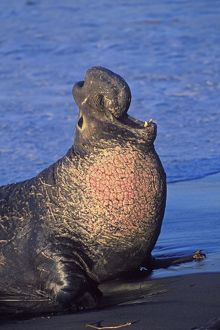 Northern Elephant Seal - adult male bellowing on the beach - Piedras Blancas colony