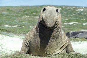 Northern Elephant SEAL with humorous face