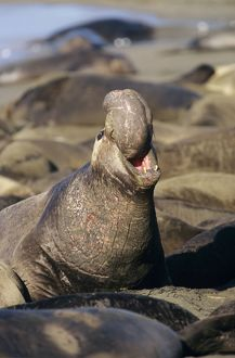 Northern Elephant SEAL - Male, threatening rivals