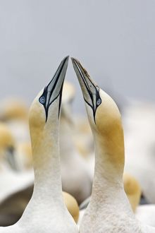 Northern Gannet - sky pointing as part of courtship display