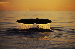 Northern Right Whale - Tail at sunset