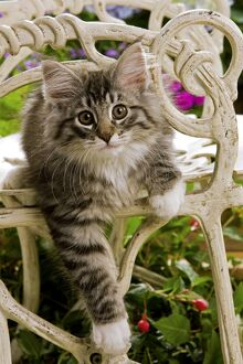 Norweigan Forest Cat - kitten on chair