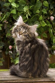 Norweigan Forest Cat - sitting