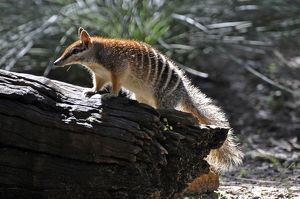 Numbat/ Banded Anteater / Marsupial Anteater