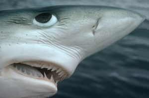 Oceanic Blue Shark - Above water, close-up of face showing details of teeth and eye.